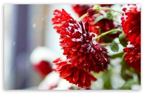 3d Wallpaper 480x800 Snow Over Red Flowers 4k Hd Desktop Wallpaper For 4k Ultra