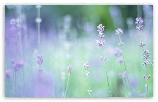 Smartphone Wallpapers Hd Free Soft Focus Small Purple Flowers 4k Hd Desktop Wallpaper