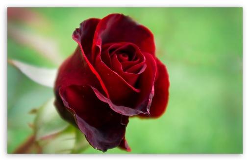 Single Quotes Hd Wallpaper Soft Red Rose 4k Hd Desktop Wallpaper For 4k Ultra Hd Tv