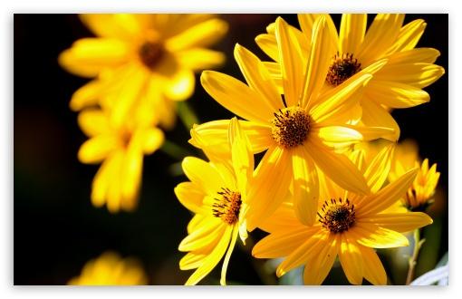 Iphone 3g Wallpaper Download Yellow Flowers Close Up 4k Hd Desktop Wallpaper For 4k