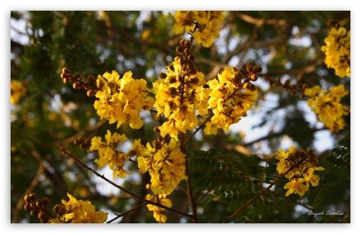 Hd Wallpaper Ipad 3 Yellow Gulmohar Flowers 4k Hd Desktop Wallpaper For 4k