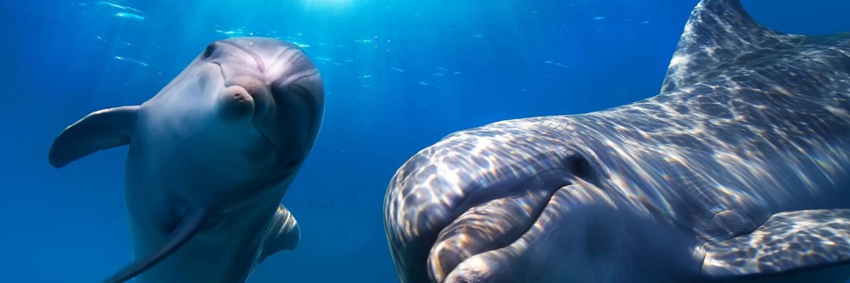 Free 3d Dolphin Wallpaper Dolphin Wallpaper Underwater Hd Desktop Wallpapers 4k Hd