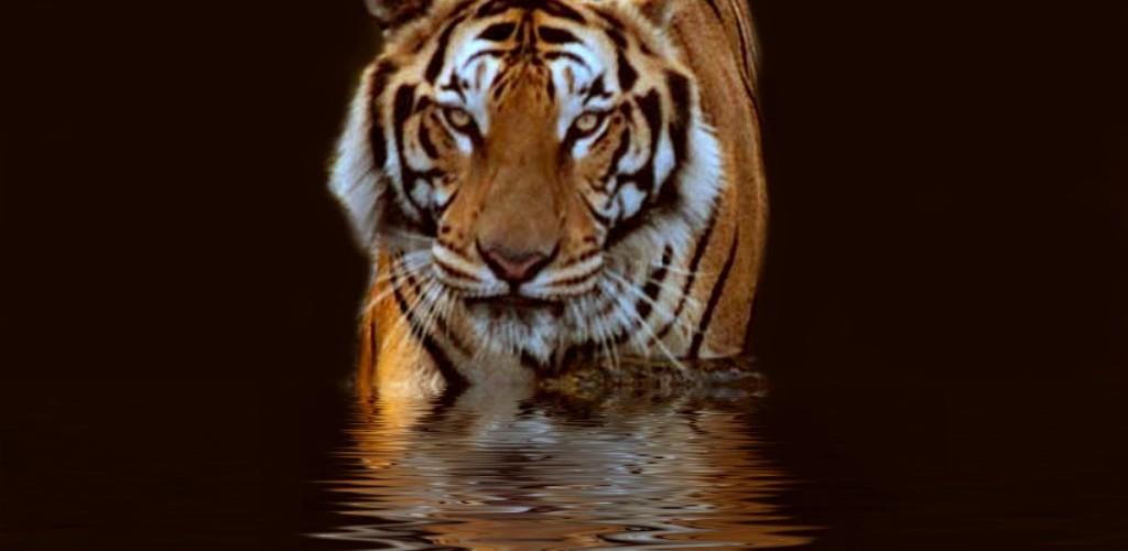 Download Free Live Wallpapers 3d Tiger Wallpaper Water Hd Desktop Wallpapers 4k Hd