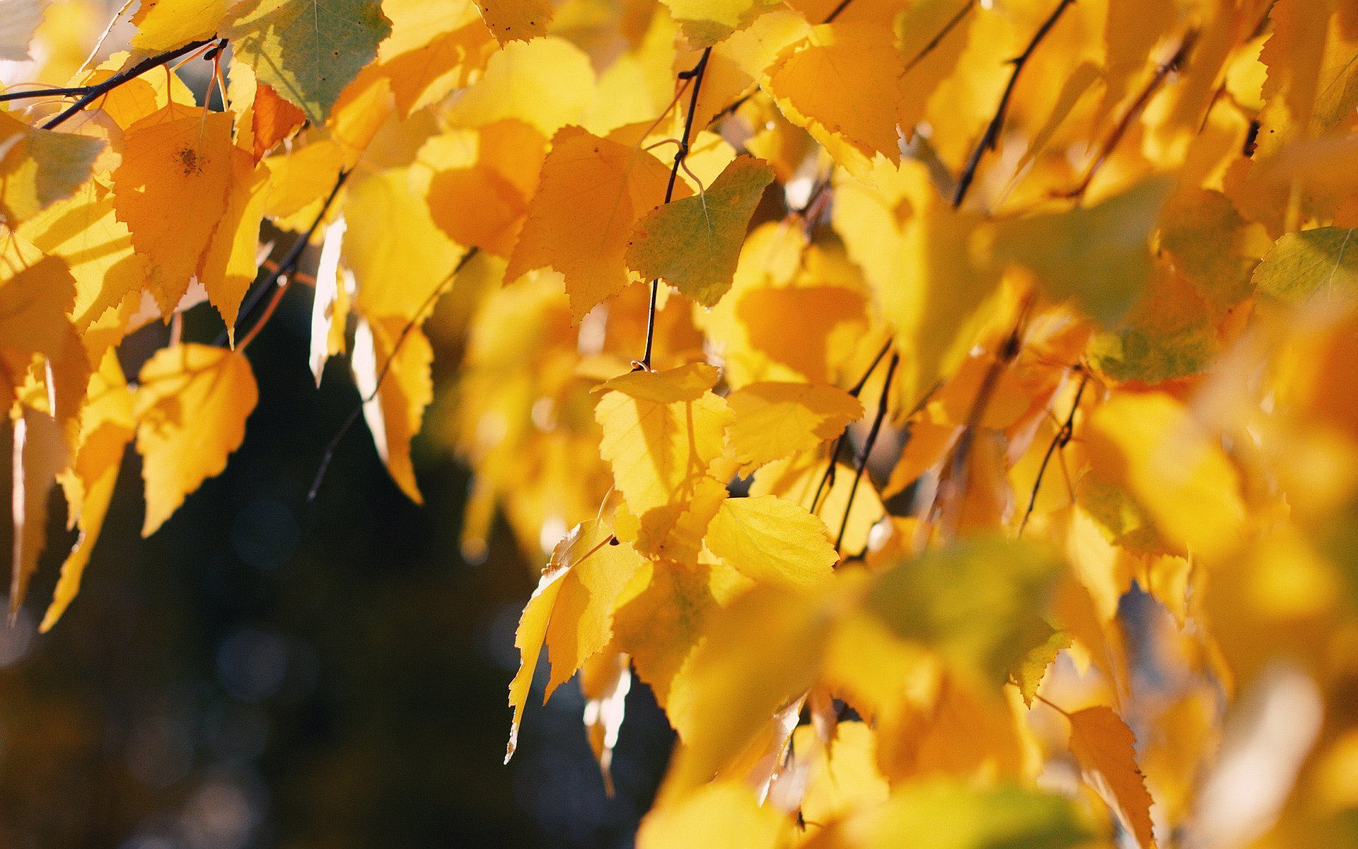 Falling Leaves Animated Wallpaper Autumn Birch Wallpaper Hd Desktop Wallpapers 4k Hd