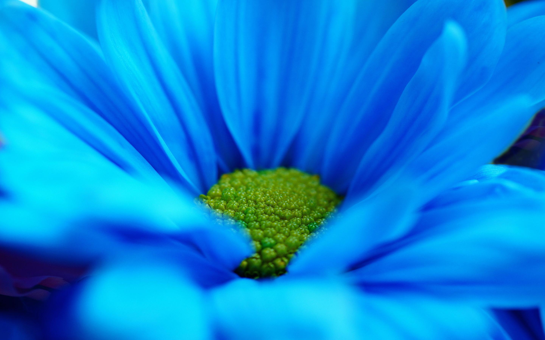 Cute Live Wallpaper Download Blue Daisy Hd Desktop Wallpapers 4k Hd