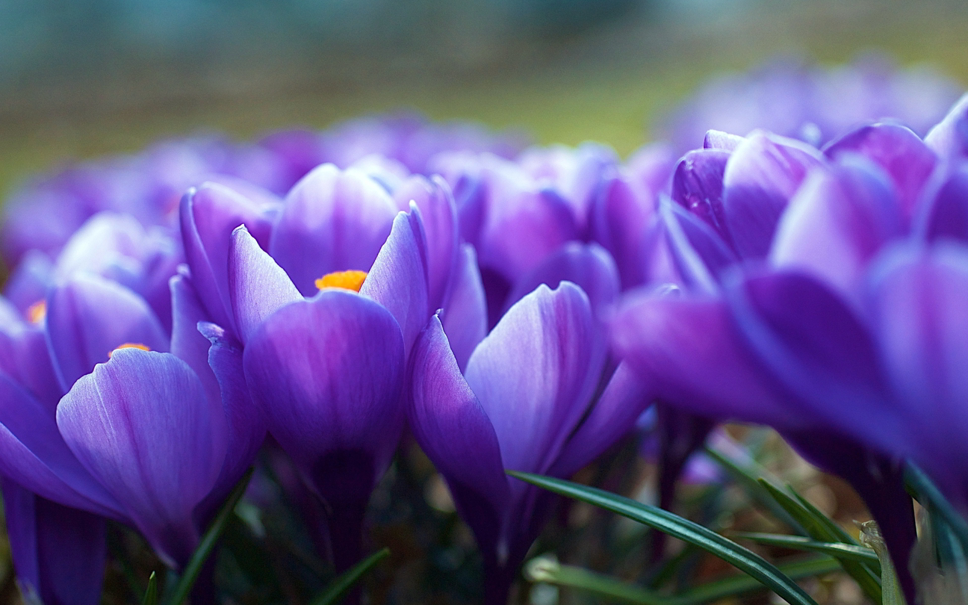 3d Lotus Live Wallpaper Crocus Flower Purple Hd Desktop Wallpapers 4k Hd