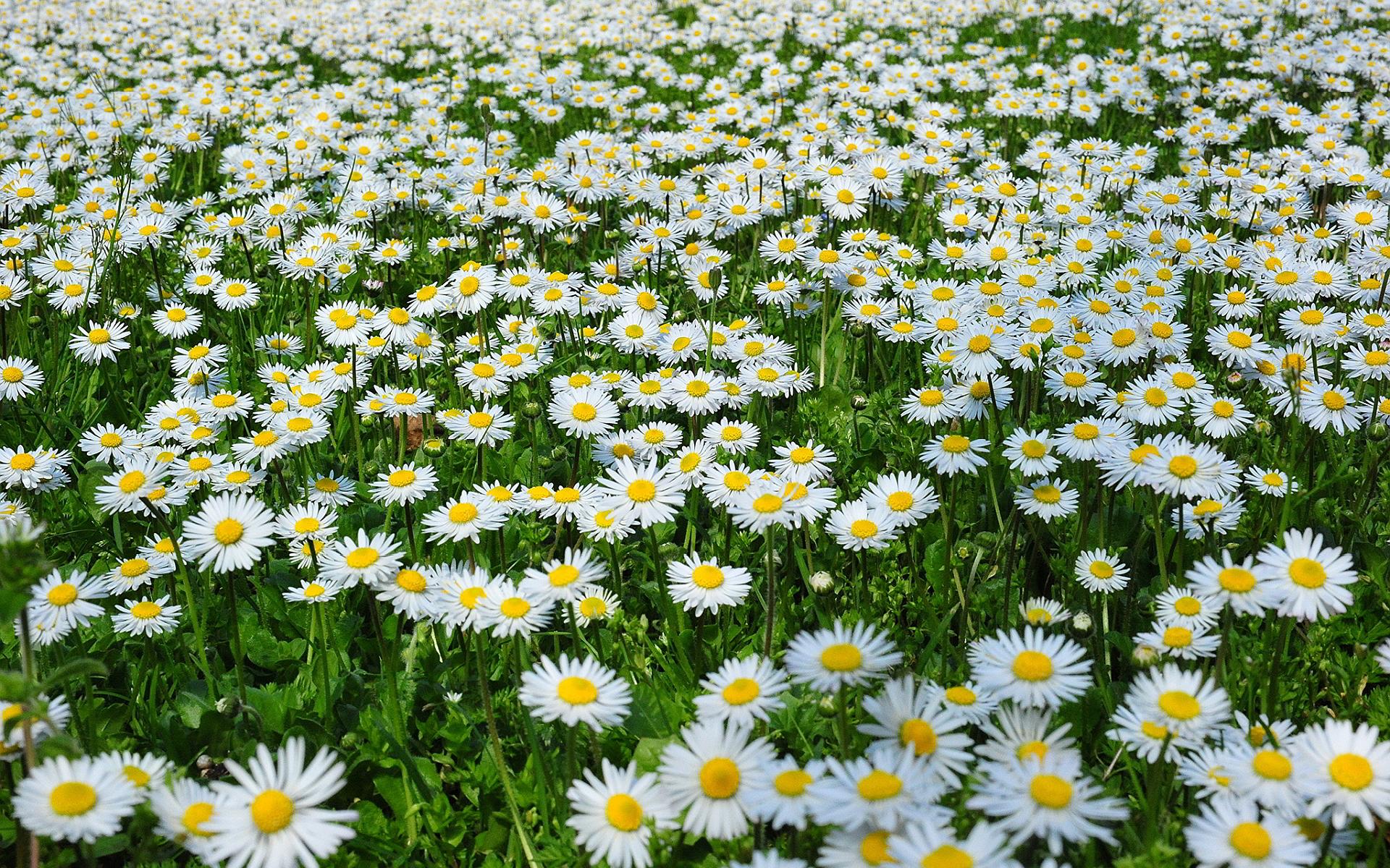 Autumn Love Hd Live Wallpaper Daisies Margherite Hd Desktop Wallpapers 4k Hd