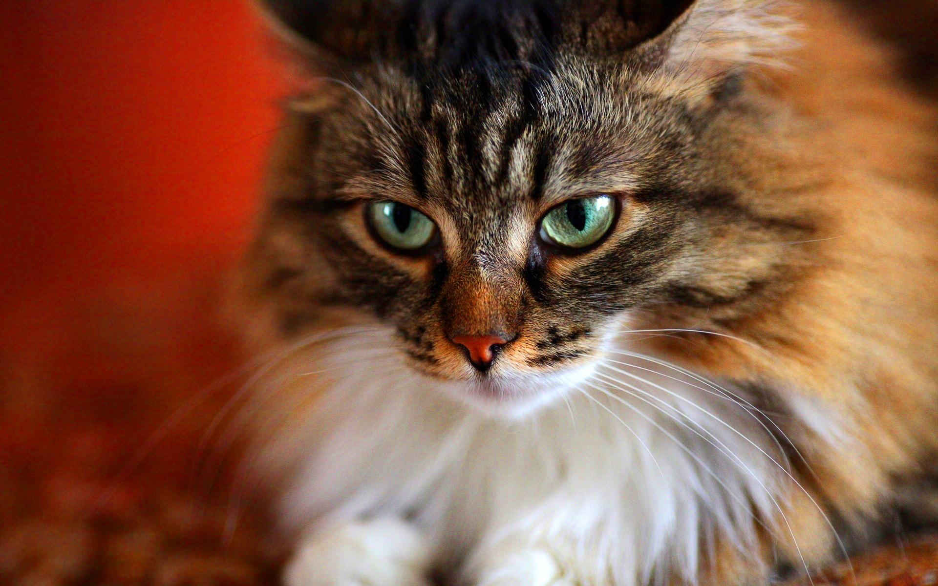Download Wallpaper Cute Cat Fuzzy Cat Download Hd Desktop Wallpapers 4k Hd