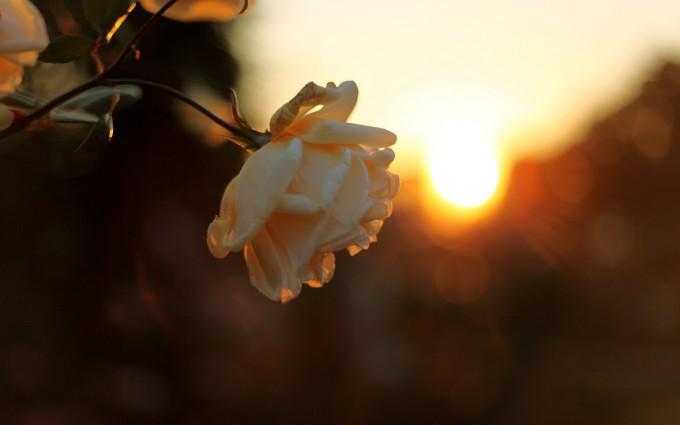 3d Blossoms Live Wallpaper Nice Sunset Wallpapers Flower Hd Desktop Wallpapers 4k Hd