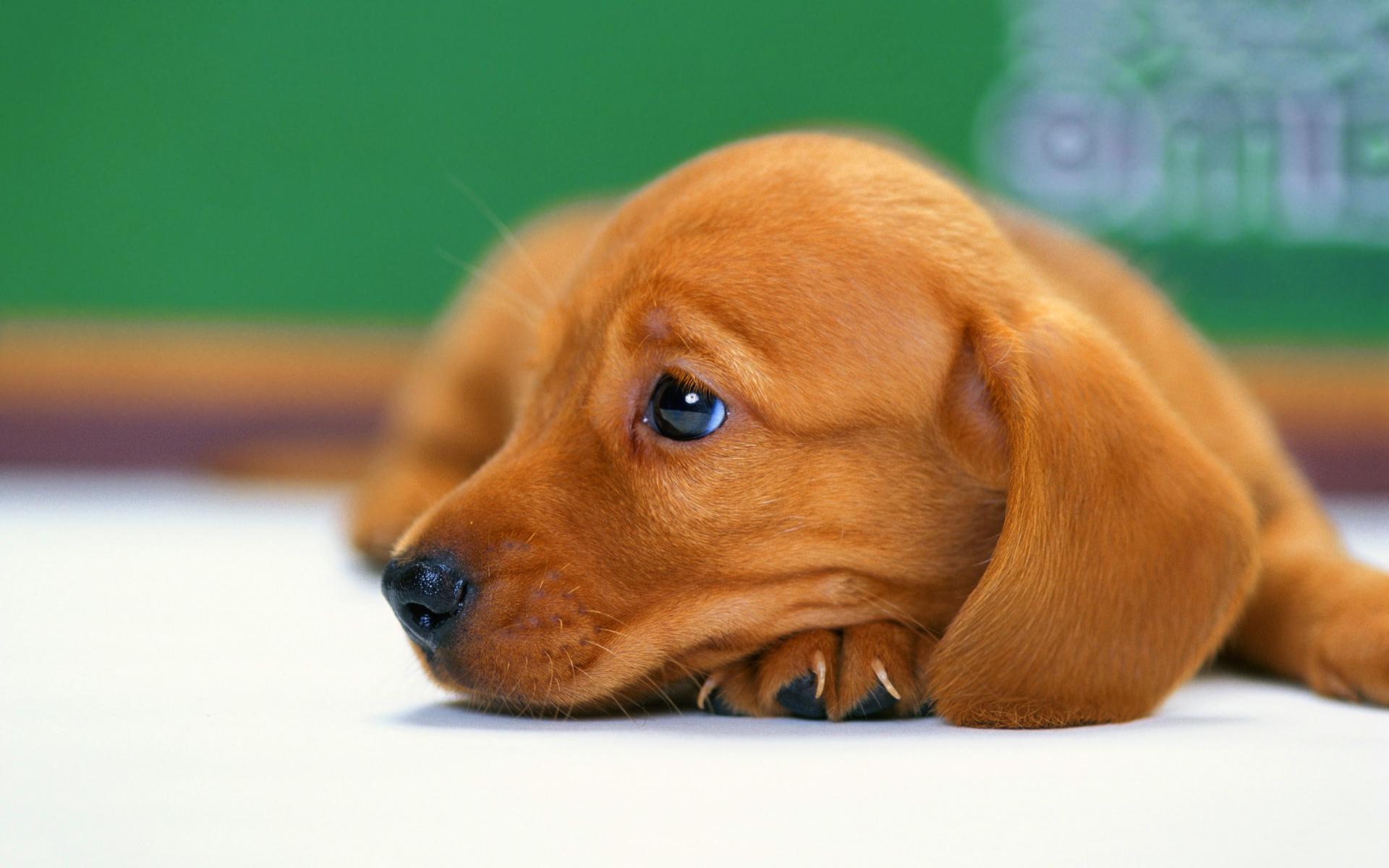 Cute Baby Pets Live Wallpaper Download Puppy Bored Hd Desktop Wallpapers 4k Hd