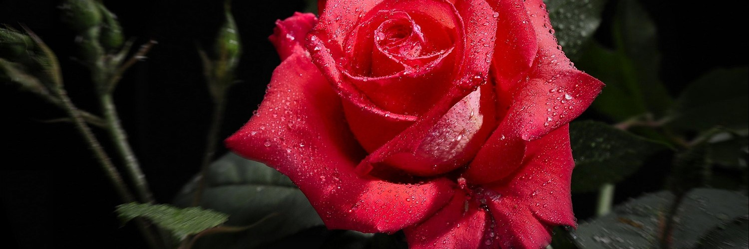 3d Rose Live Wallpaper Free Download Red Rose Wet Images Hd Desktop Wallpapers 4k Hd