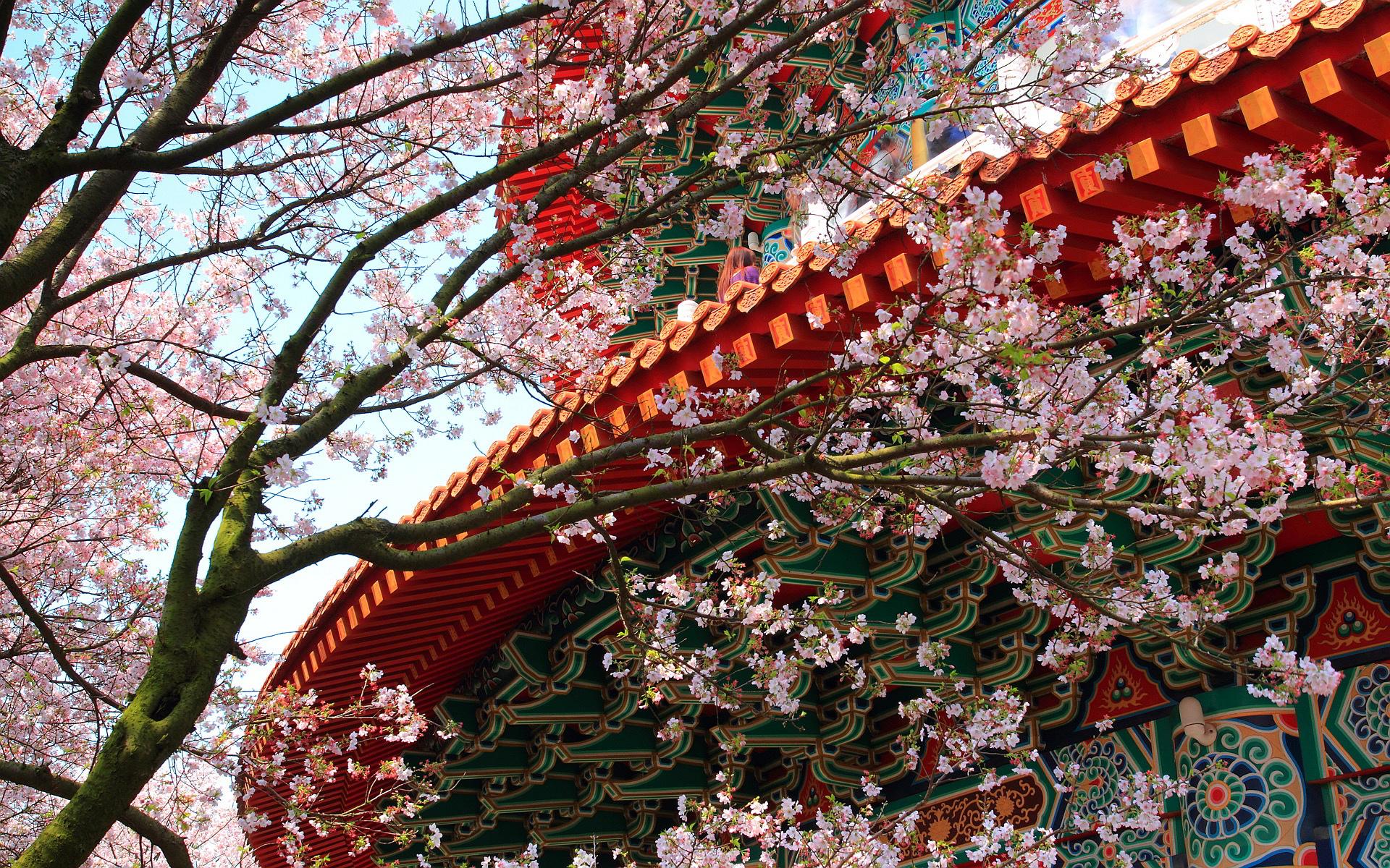 3d Blossoms Live Wallpaper Temple Cherry Blossoms Hd Desktop Wallpapers 4k Hd