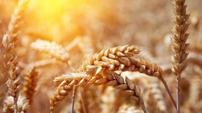 wheat nature close up - HD Desktop Wallpapers | 4k HD