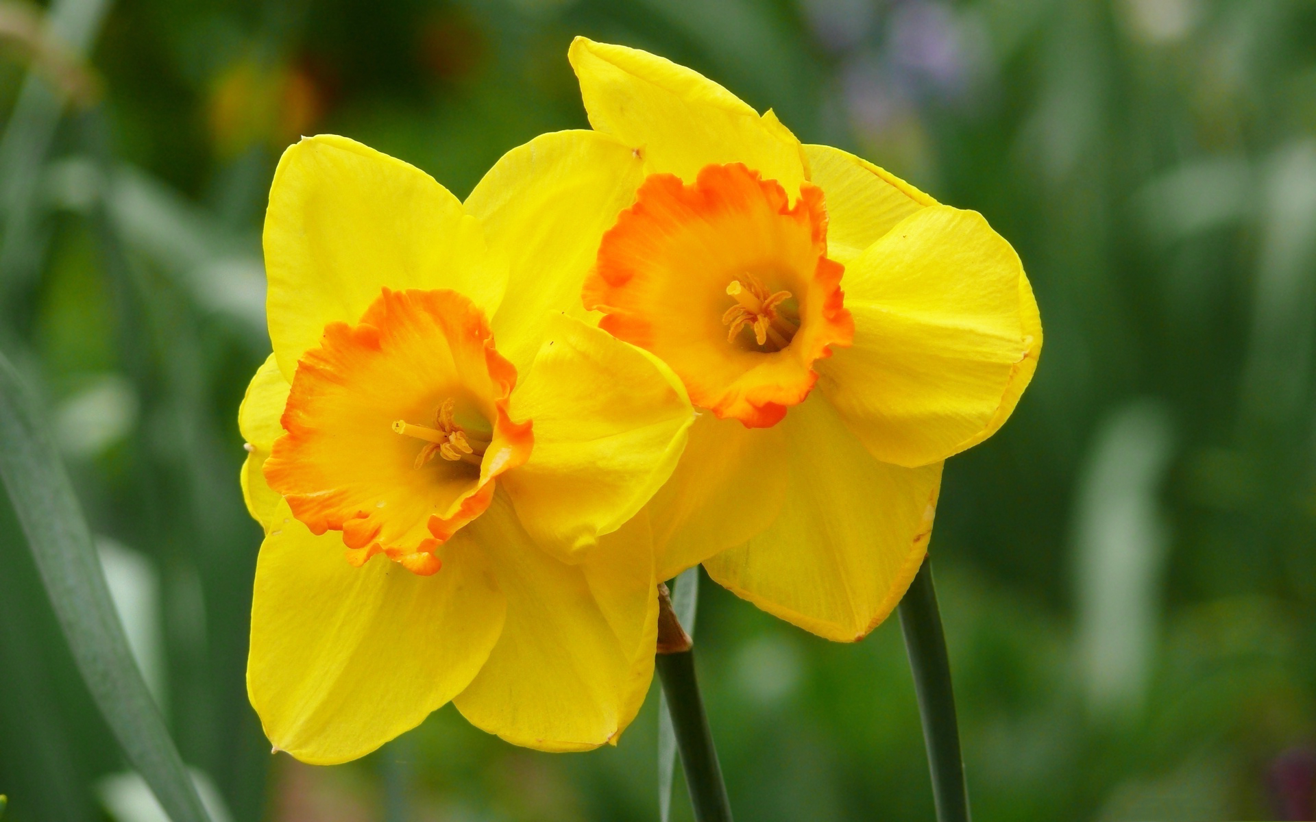 Batman 3d Live Wallpaper Yellow Daffodils Hd Hd Desktop Wallpapers 4k Hd