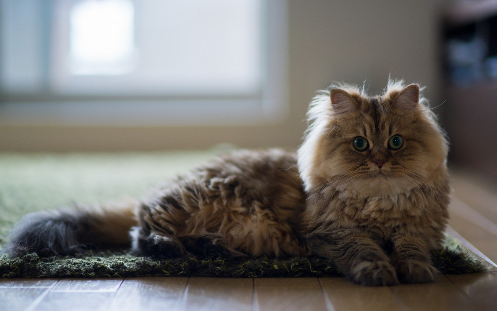 Cute Bengal Cats Wallpaper Cat Floor Hd Desktop Wallpapers 4k Hd