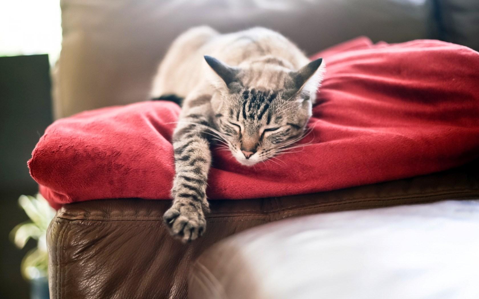3d Cat Wallpapers Download Cat Sleeping Tired Hd Desktop Wallpapers 4k Hd