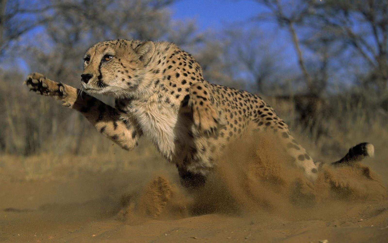 Cheetah Wallpaper 3d Cheetah Picturs Hd Desktop Wallpapers 4k Hd