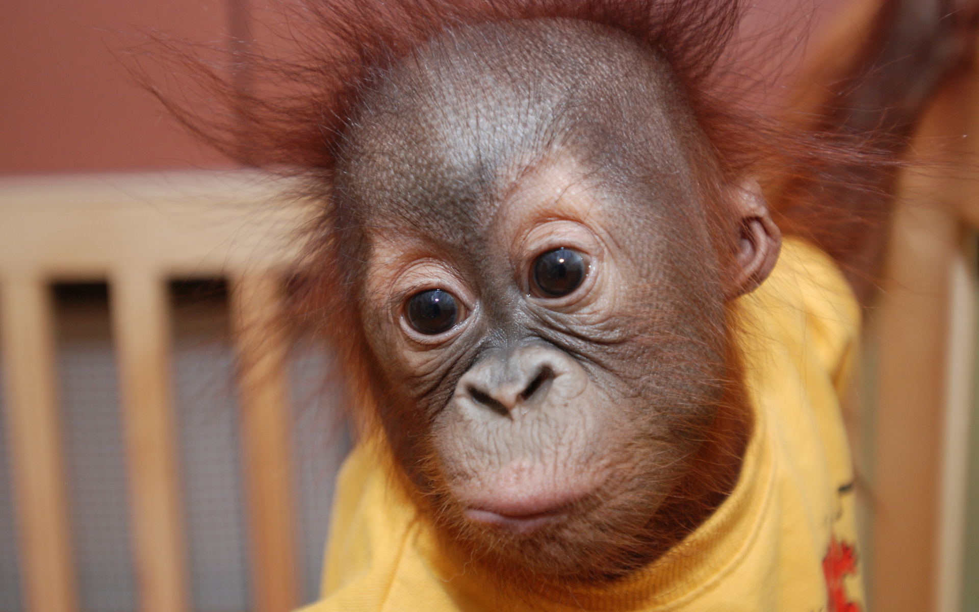 Orang Uta Cute Baby Animal - Hd Desktop Wallpapers | 4k Hd