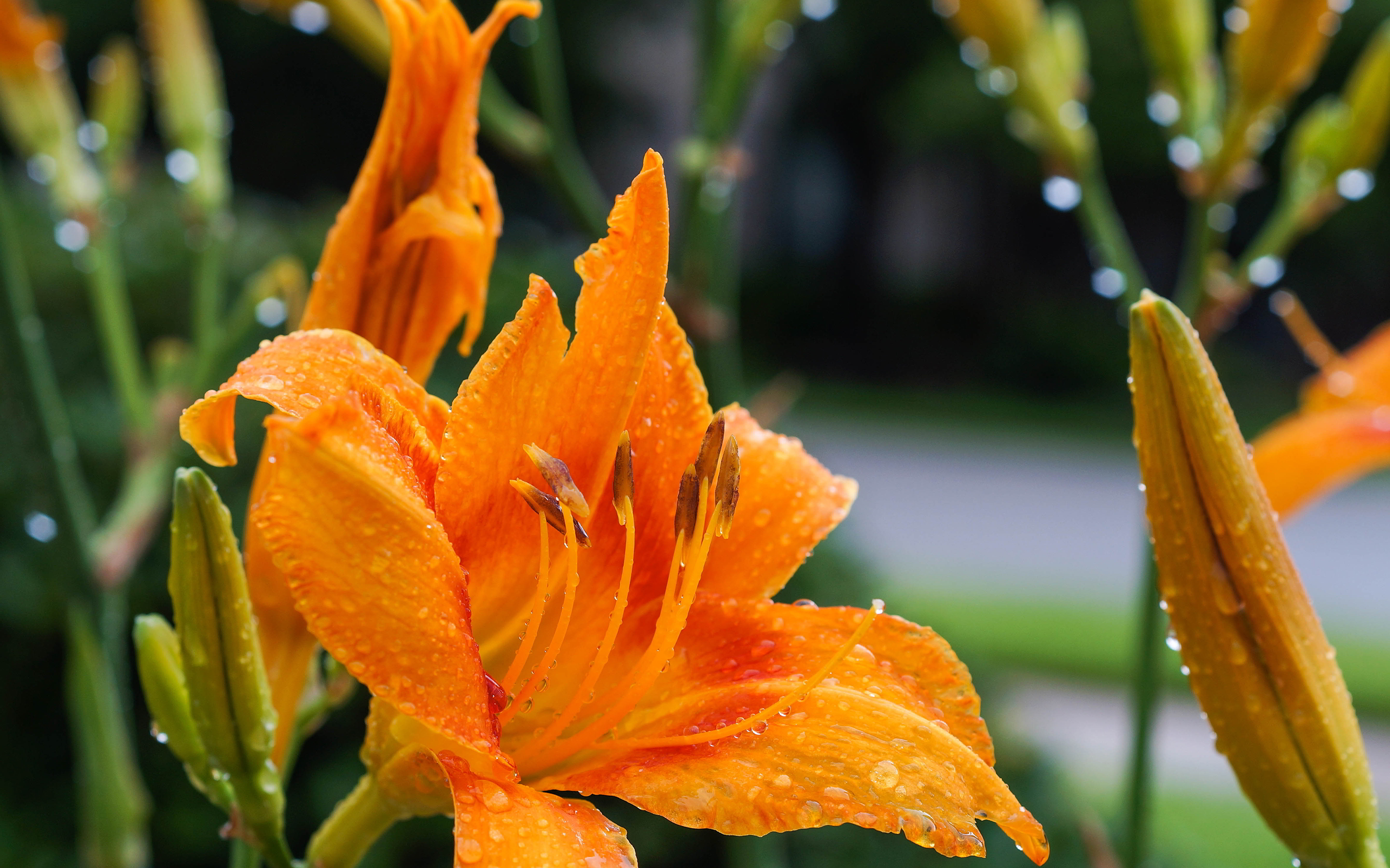 Cute Trumpet Wallpapers Daylily Dew Drops Flower Hd Desktop Wallpapers 4k Hd