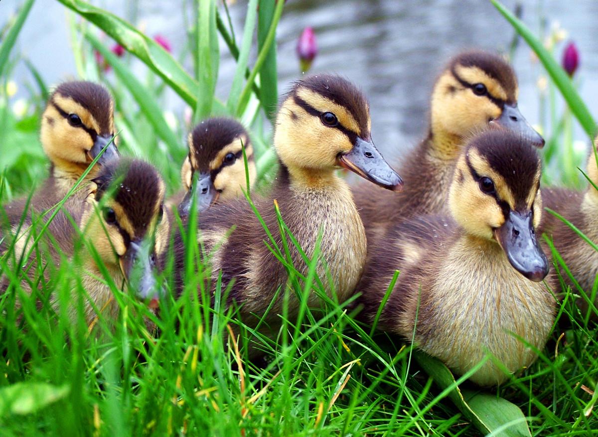 Cute Ducks In Water Wallpaper Duck Wallpapers Hd Desktop Wallpapers 4k Hd