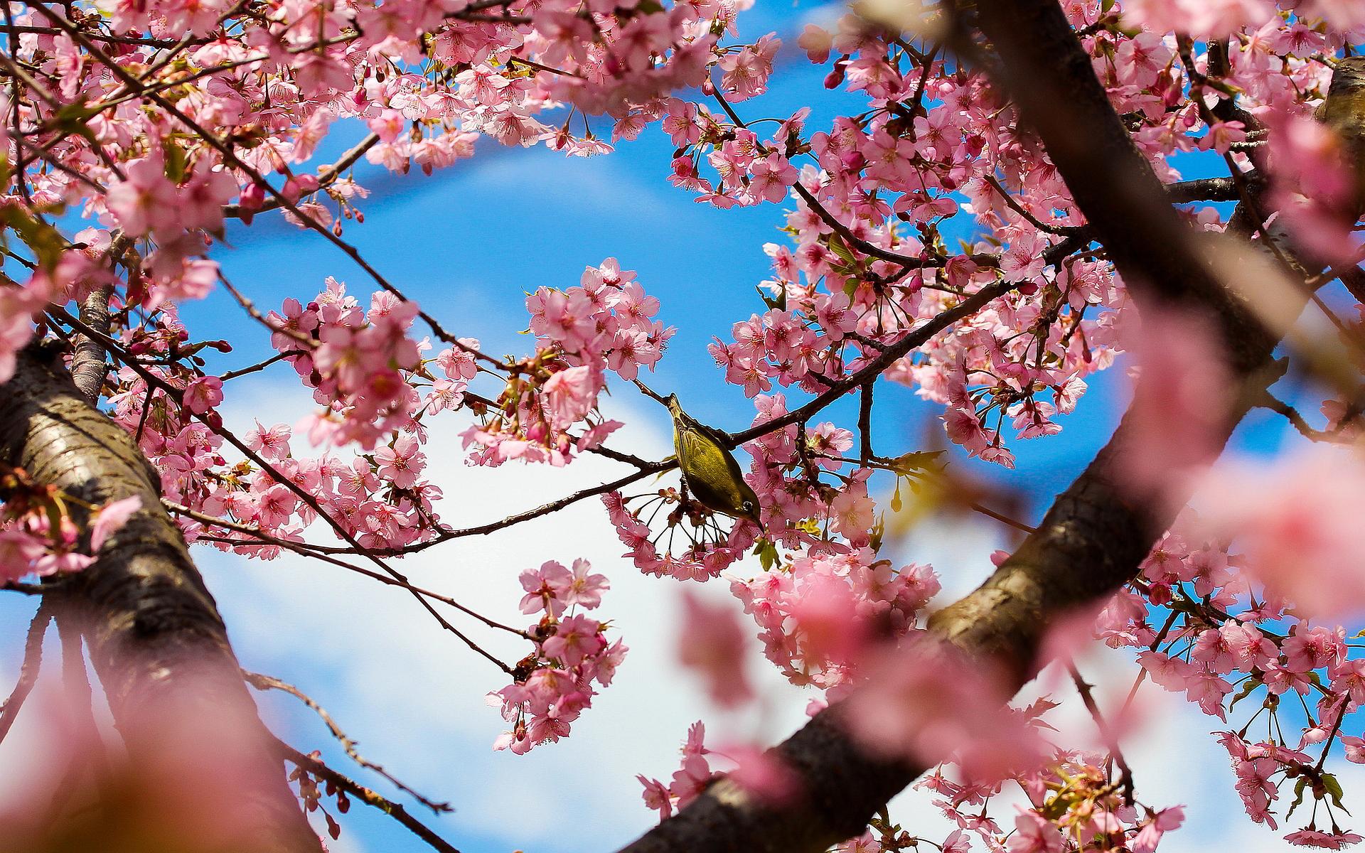 3d Blossoms Live Wallpaper Free Spring Desktop Wallpapers Backgrounds Hd Desktop