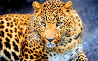 jaguar black white - HD Desktop Wallpapers | 4k HD
