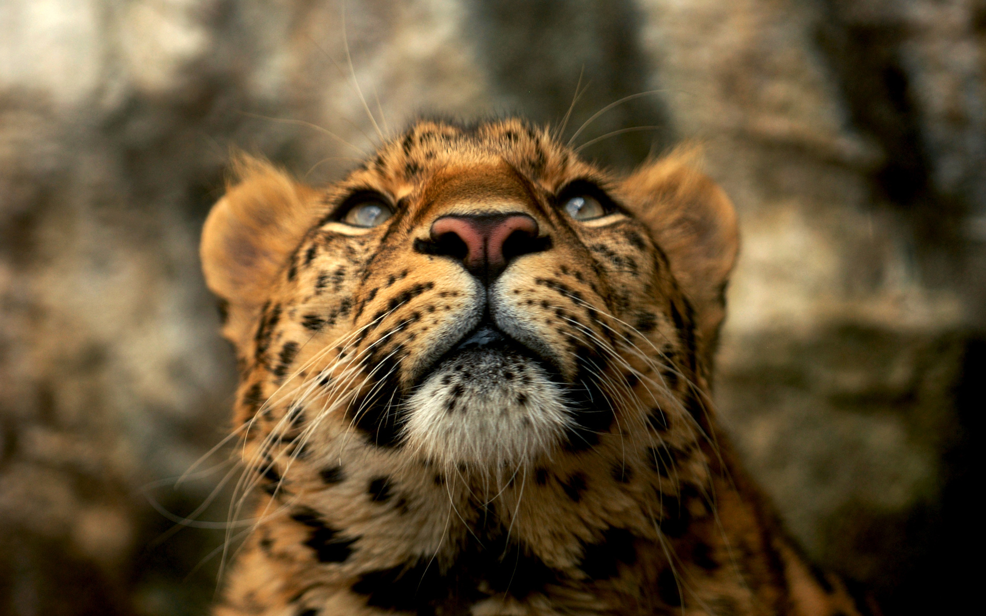 3d Name Live Wallpaper Download Leopard Wallpapers Hd Desktop Wallpapers 4k Hd