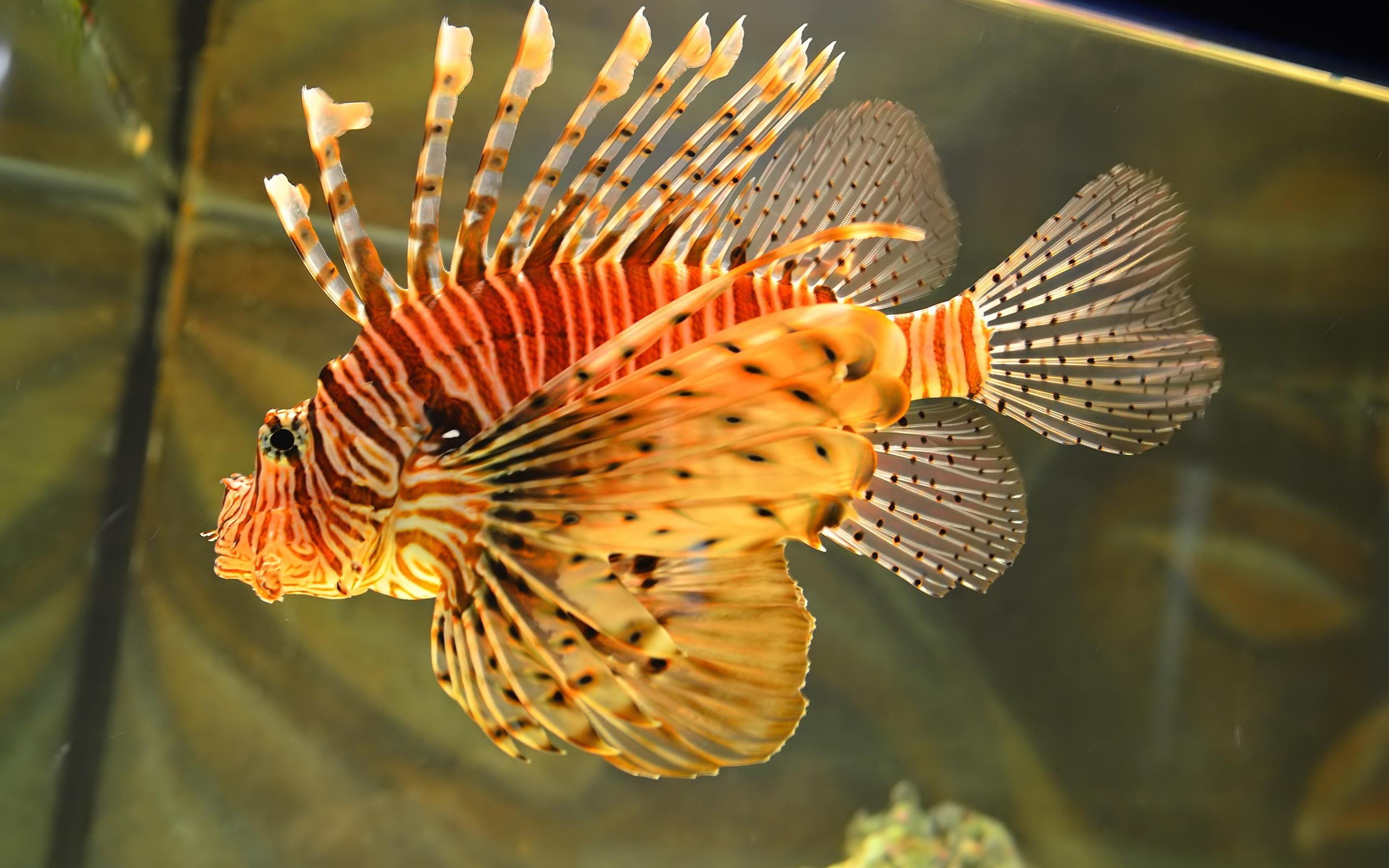 3d Wallpaper Live Fish Lionfish Hd Desktop Wallpapers 4k Hd