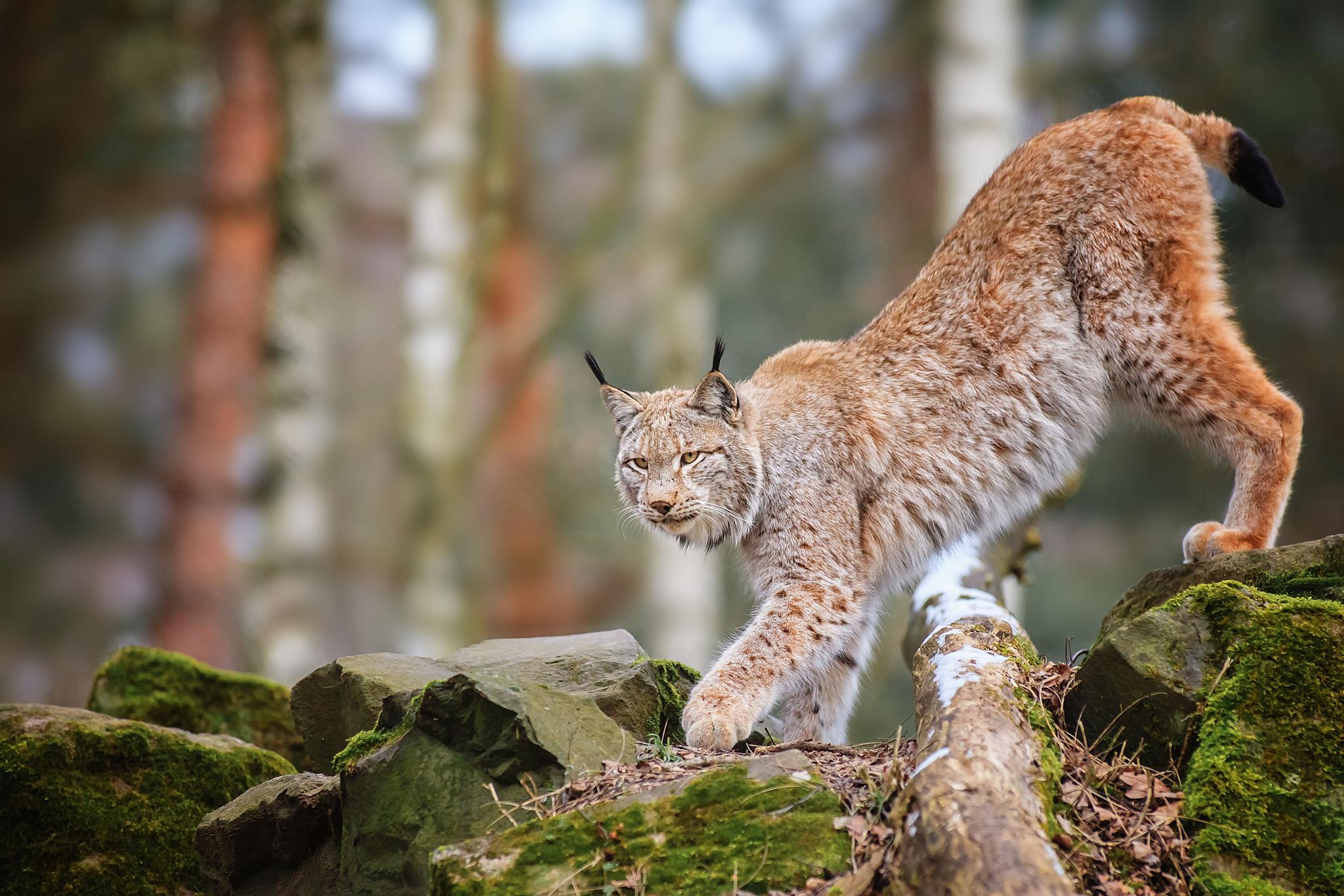 Cat In Fall Wallpaper Lynx Images Hd Hd Desktop Wallpapers 4k Hd