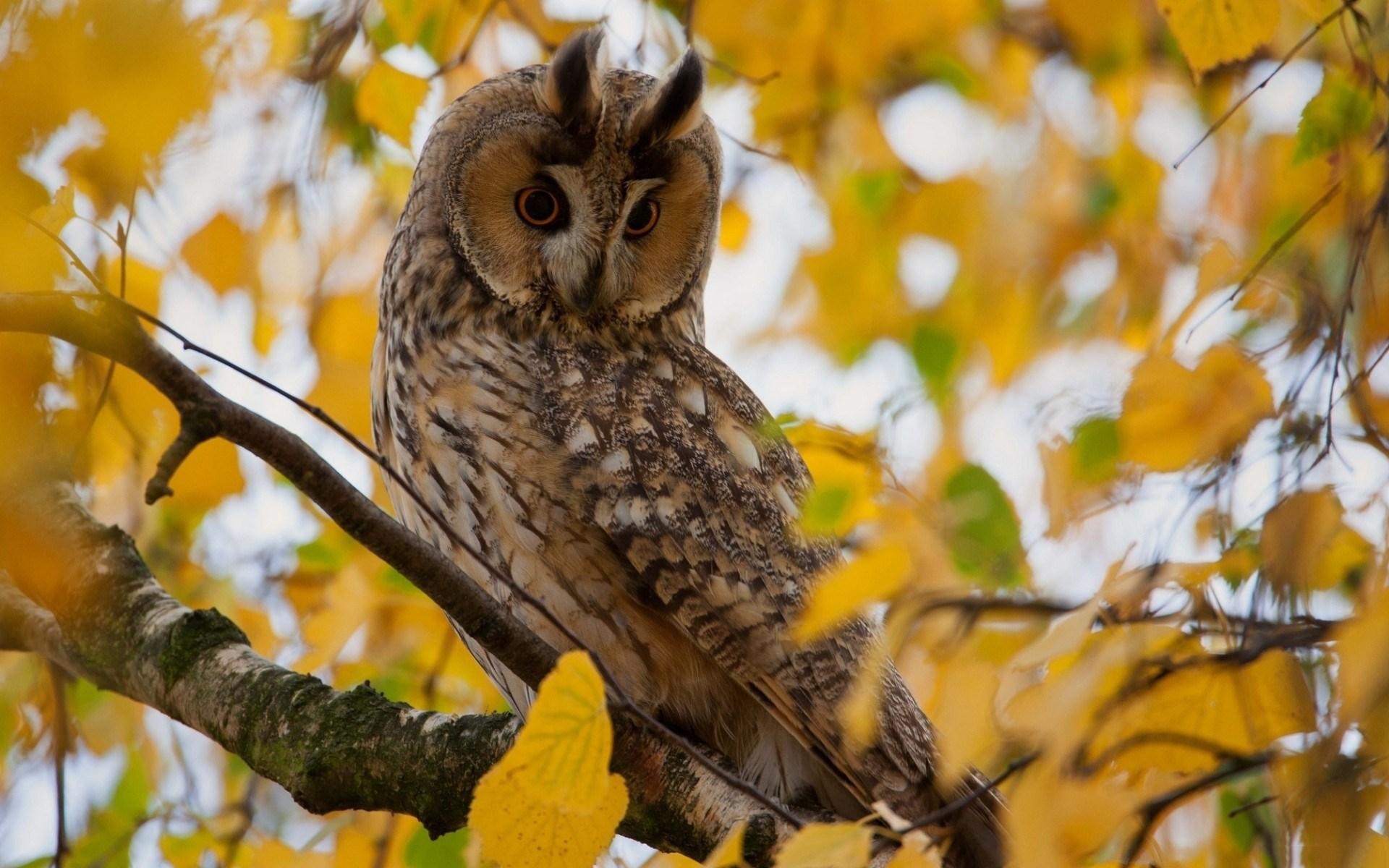Free Falling Leaves Live Wallpaper Owl Baby Hd Desktop Wallpapers 4k Hd