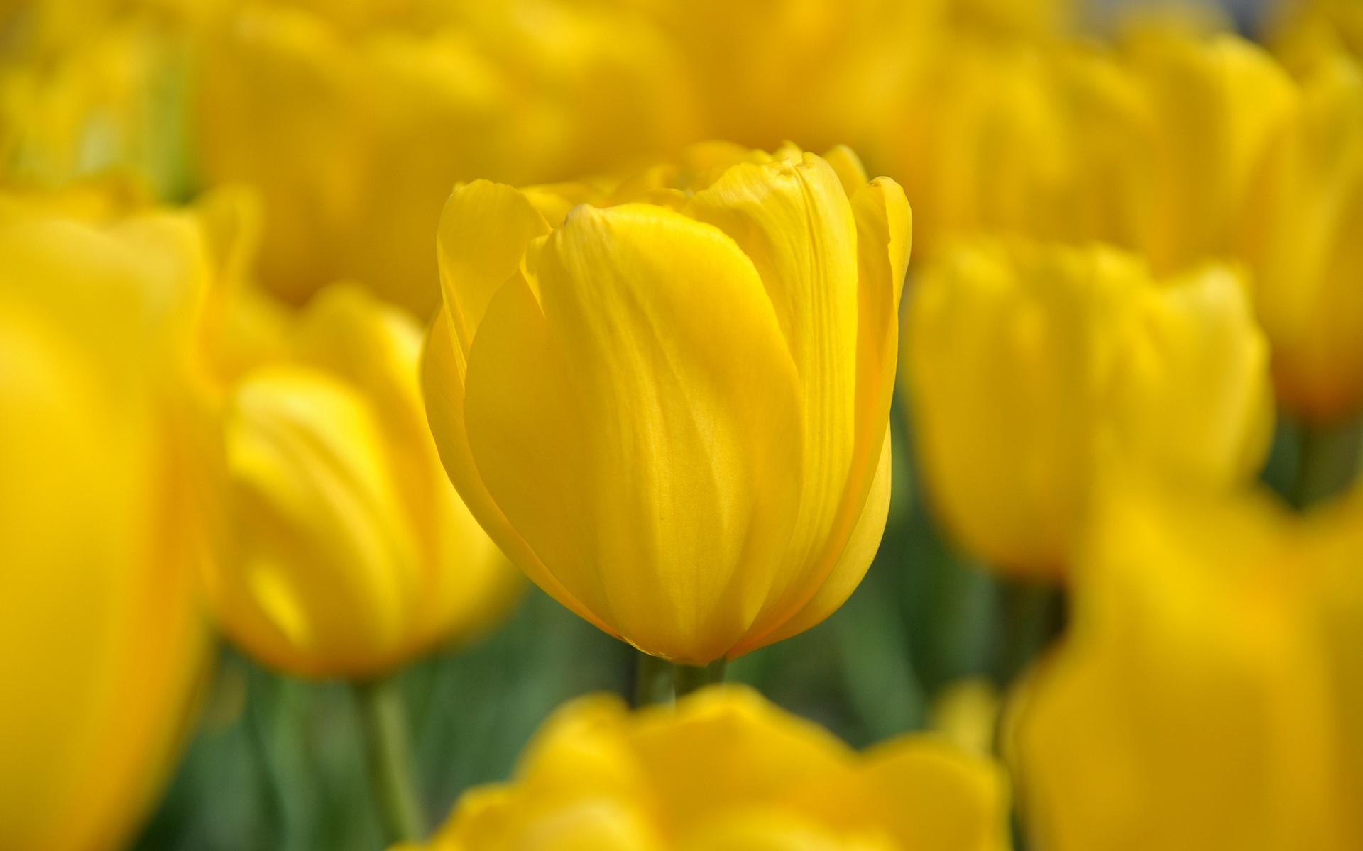 Balloons 3d Live Wallpaper Pictures Of Tulips Flowers Hd Desktop Wallpapers 4k Hd