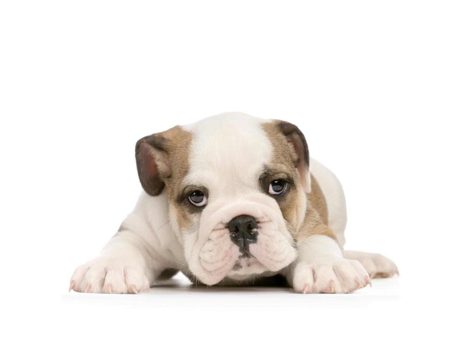 Cute Baby Pets Live Wallpaper Download Puppy Bulldog Hd Desktop Wallpapers 4k Hd