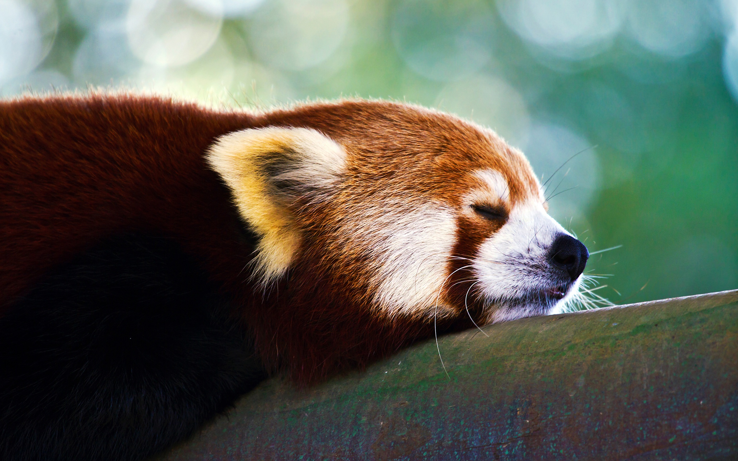 Free Download Cute Baby Wallpaper For Pc Red Panda Pictures Hd Hd Desktop Wallpapers 4k Hd