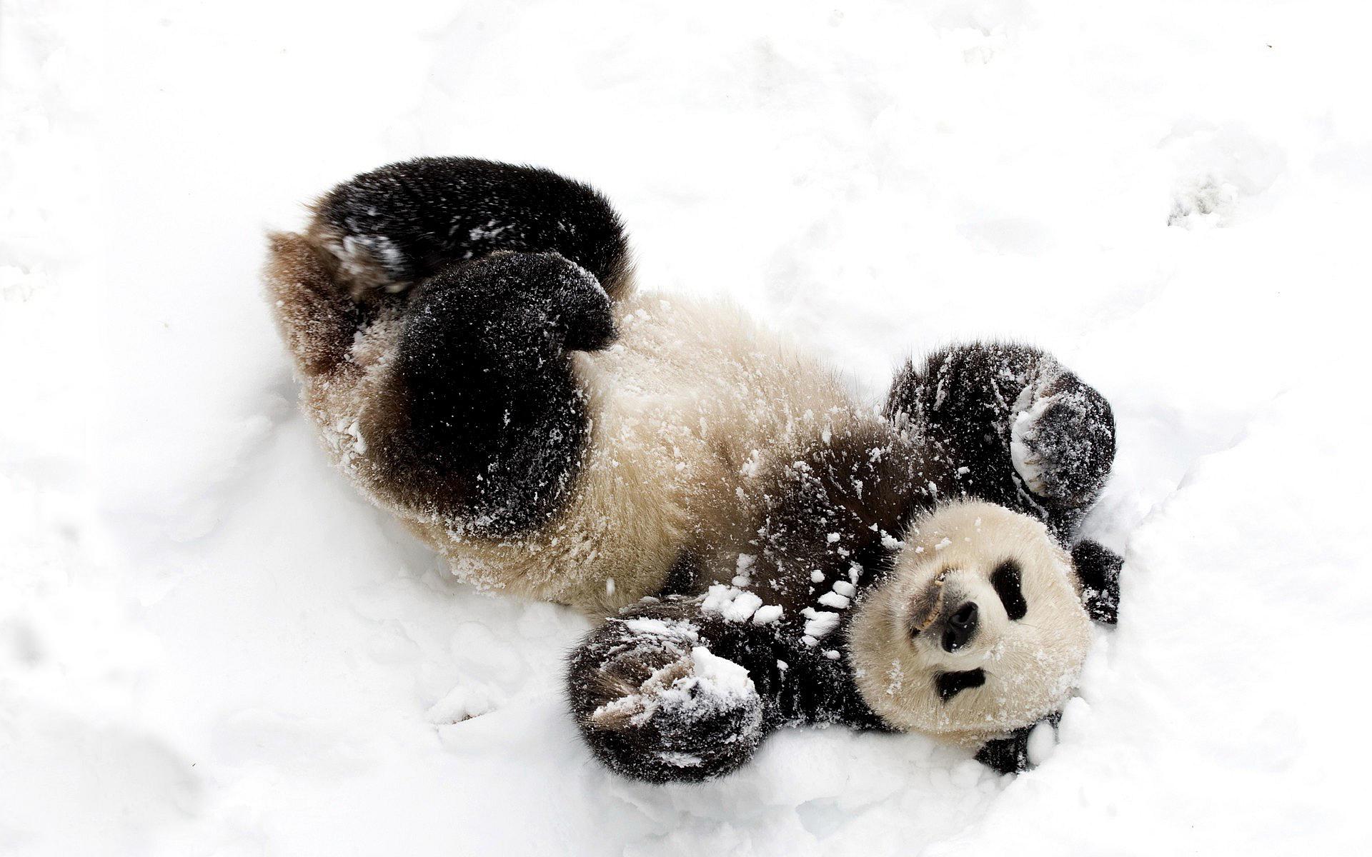 Hd Cute Panda Wallpaper Snow Animal Hd Desktop Wallpapers 4k Hd
