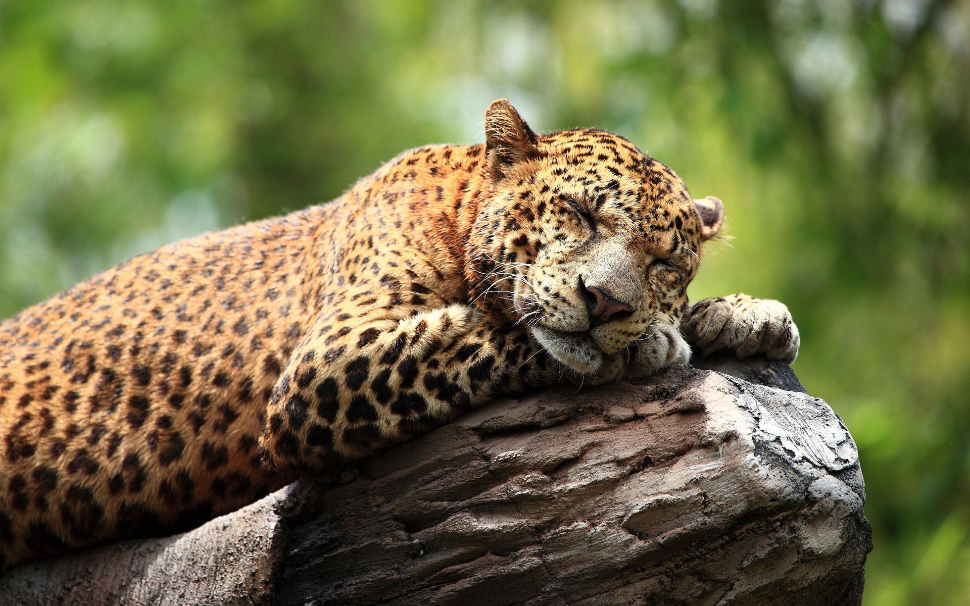 Cute Wallpapers Screensavers Sleeping Leopard Hd Desktop Wallpapers 4k Hd