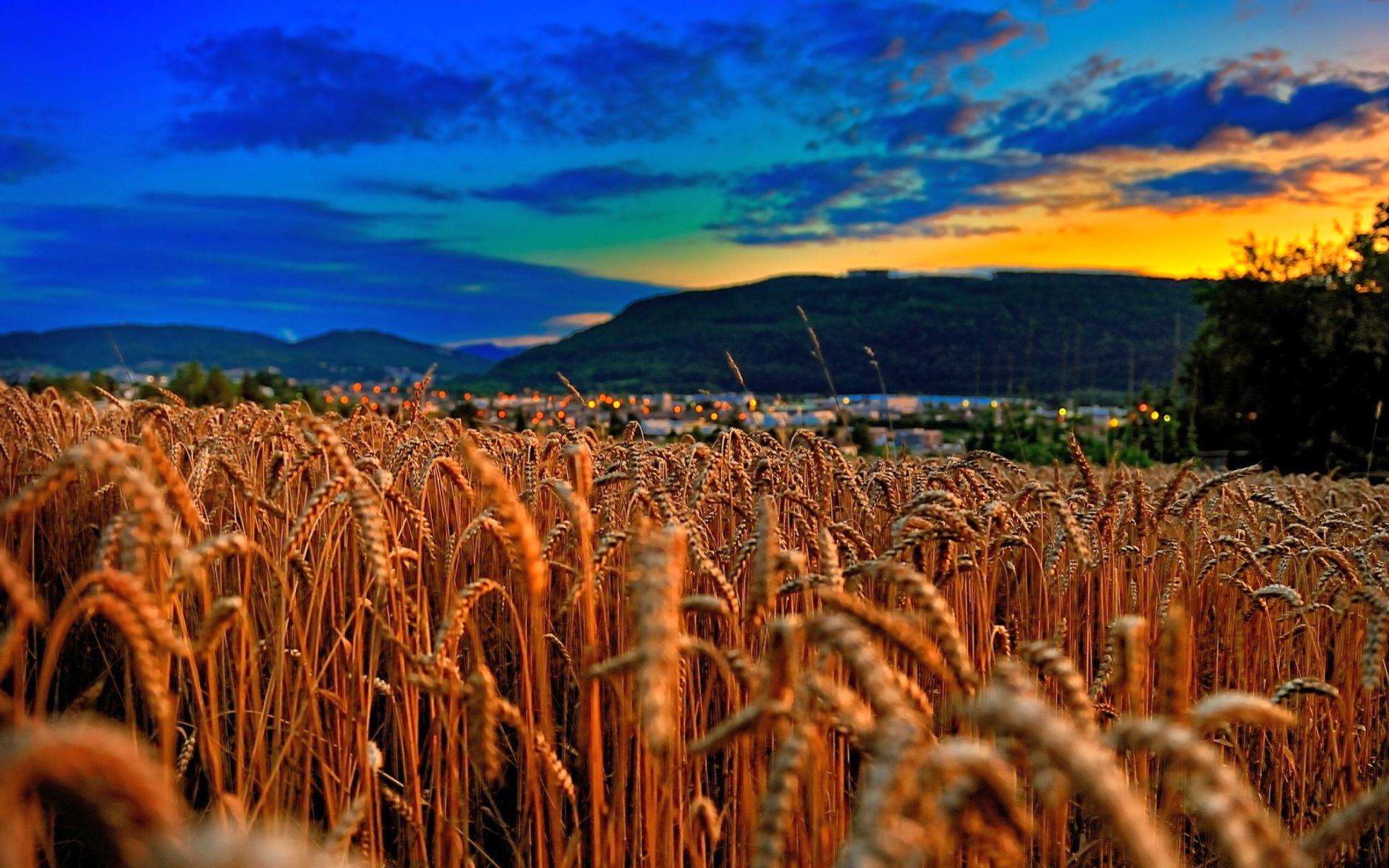 Cute Duck Wallpapers Wheat Field Sunset Hd Desktop Wallpapers 4k Hd