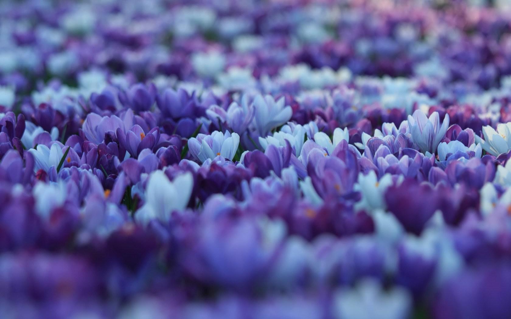 Spring Flowers 3d Live Wallpaper Autumn Crocus Flower Hd Desktop Wallpapers 4k Hd
