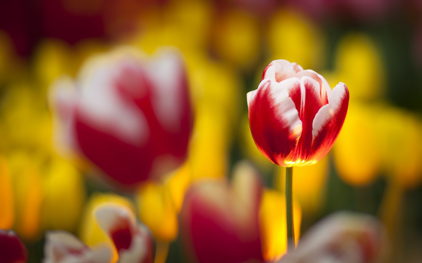 3d Effect Live Wallpapers Focus Tulips Flowers Blur Hd Desktop Wallpapers 4k Hd