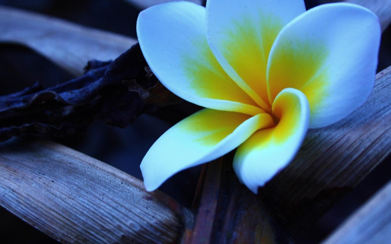 3d Image Live Wallpaper For Android Free Download Plumeria Wallpaper 2 Hd Desktop Wallpapers 4k Hd