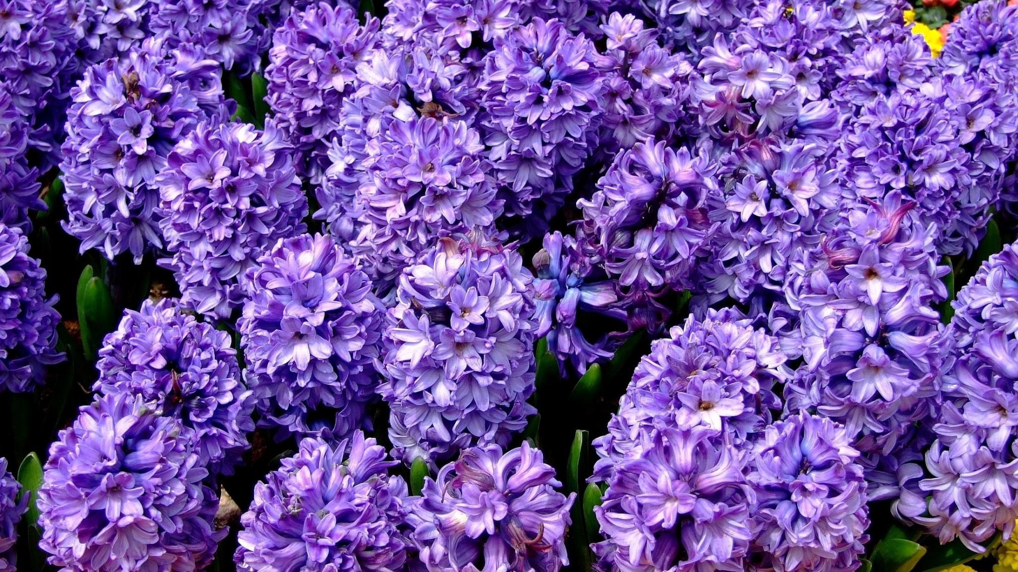 3d Wallpaper 320 480 Purple Hyacinth Hd Desktop Wallpapers 4k Hd