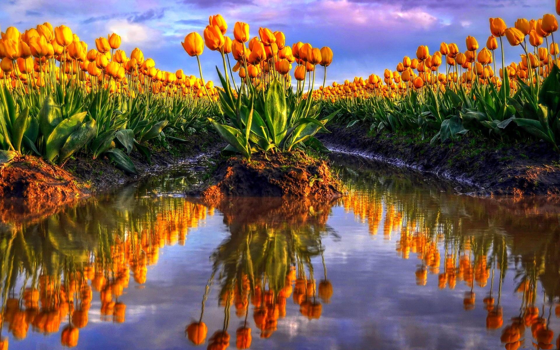 Cute Sunflower Wallpaper Tulip Photos Free Hd Desktop Wallpapers 4k Hd