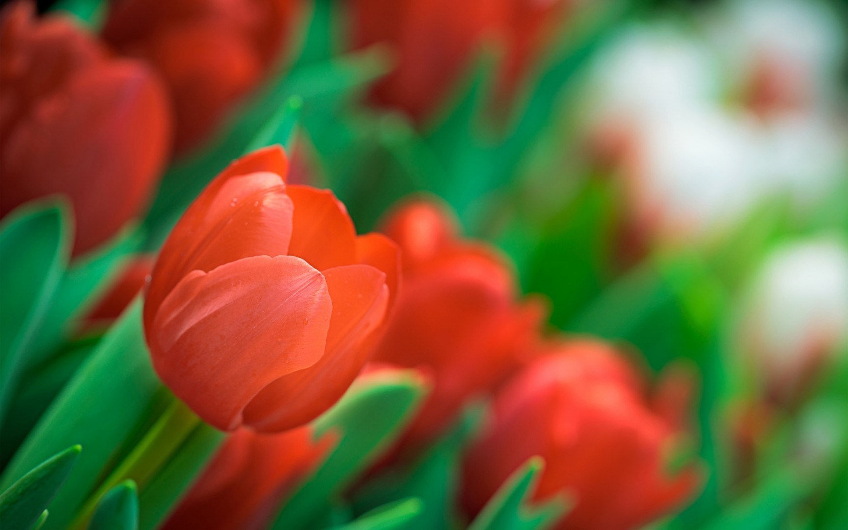 Gothic 3d Live Wallpaper Tulips Close Up Flowers Spring Hd Desktop Wallpapers 4k Hd