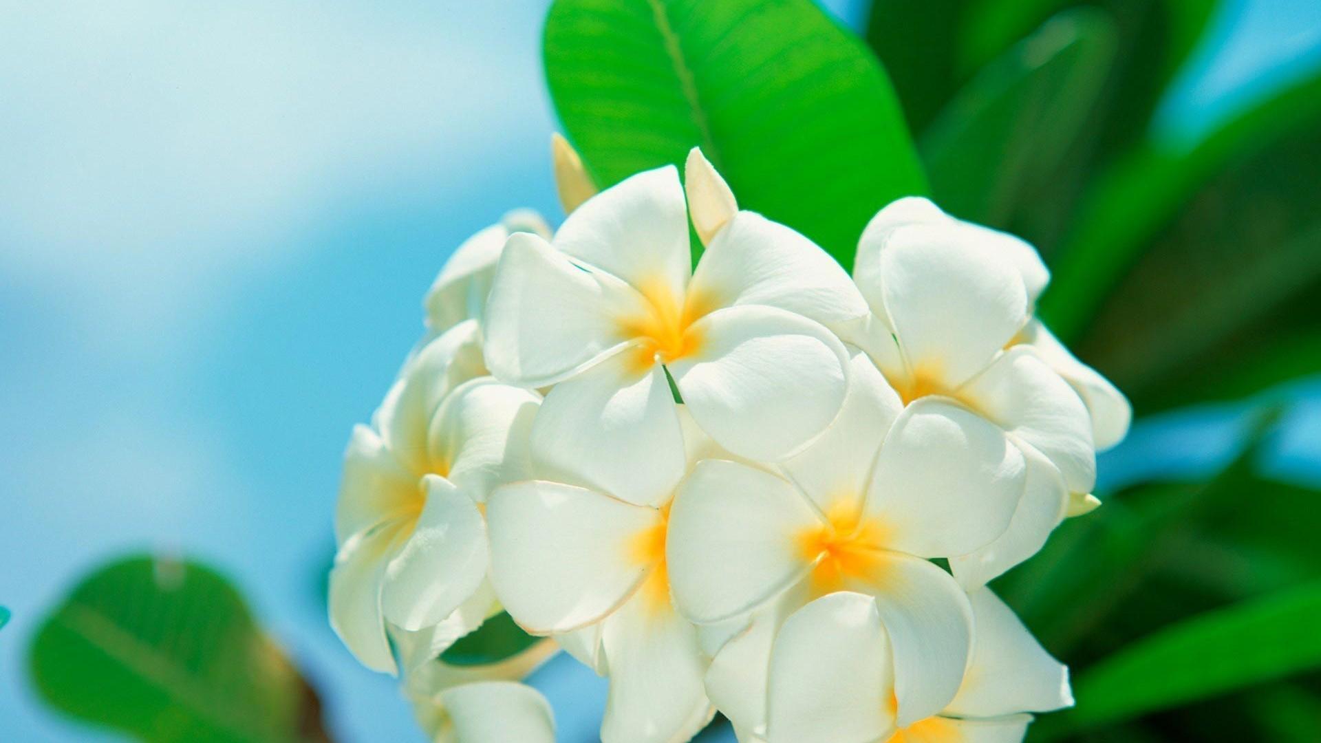 Wallpaper Cars Wallpaper White Flowers Hd Desktop Wallpapers 4k Hd