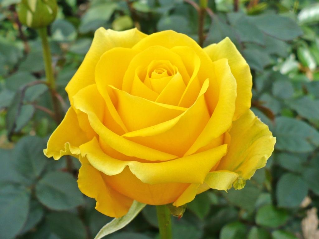 Niagara Falls Wallpaper Yellow Rose Wallpaper Free Download Hd Desktop