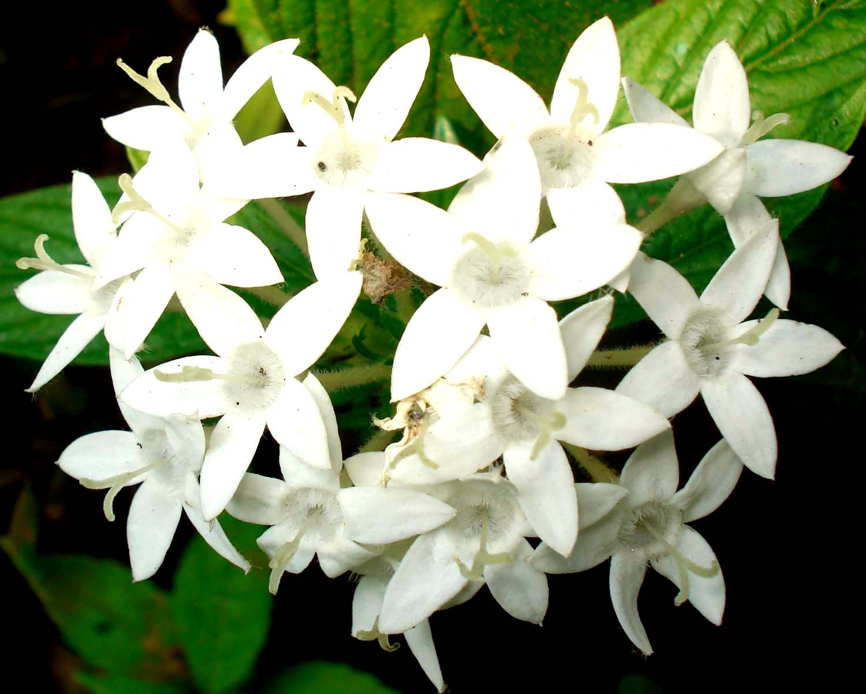 Rajnigandha Flower Hd Wallpaper Names Of White Flowers 4 Background Hdflowerwallpaper Com