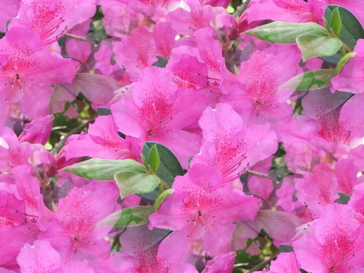 Www 3d Flower Wallpaper Com 10 Pink Flowers Names And Picture Background Wallpapers