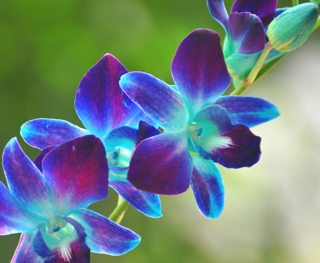 Www 3d Flower Wallpaper Com Blue Orchid 59 Desktop Wallpaper Hdflowerwallpaper Com
