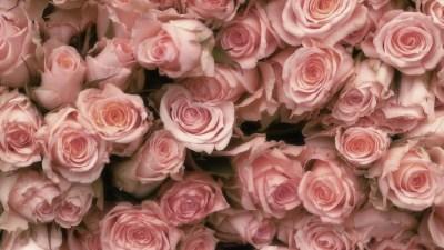 Pink Roses 7 Cool Hd Wallpaper - HdFlowerWallpaper.com