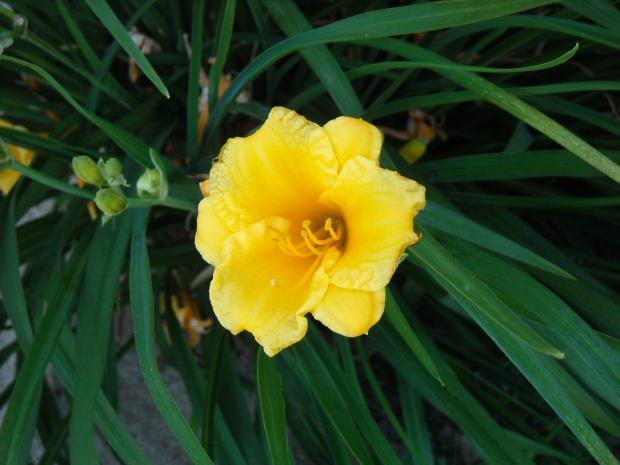 Www 3d Flower Wallpaper Com Yellow Flower Perennial 29 Cool Wallpaper