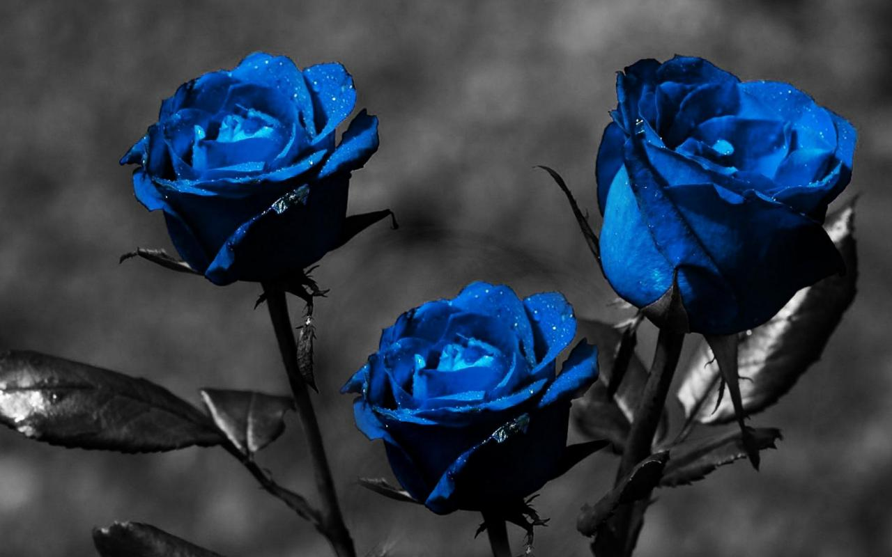 Cute Love Couple Wallpaper Full Hd Blue Rose Wallpaper For Desktop 9 Cool Hd Wallpaper